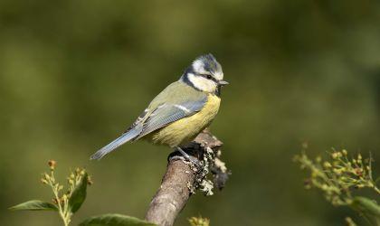 blue tit©Hugh Clark FRPSSussex Wildlife Trust