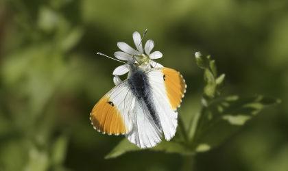 orange tip butterfly©Darin Smith, WildstockSussex Wildlife Trust